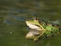groene kikker IMG_5393b