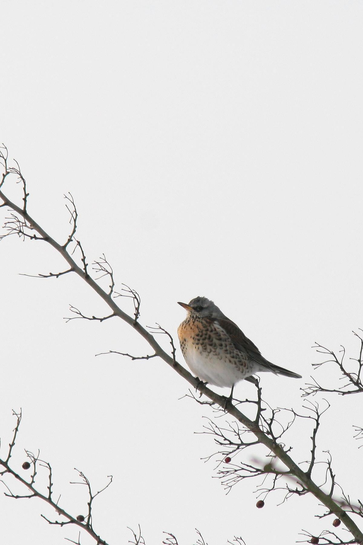kramsvogel IMG_0004